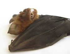 Real  Bat Hipposideros larvatus hanging Halloween Horror Taxidermy Vampire