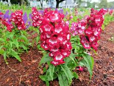 Penstemon Pentastic Red perennial Jumbo Garden Plug Plant X 3