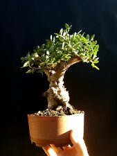 Bonsai - Giant Pistacia lentiscus - Approximately 30 years old plant