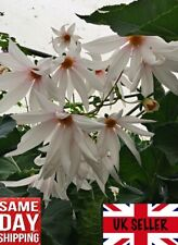 Weeping Tree Dahlia (Dahlia campanulata) - 10 fresh seeds. Same Day Dispatch