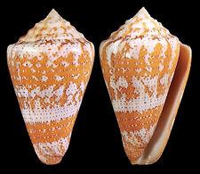Conus ( Tenorioconus ) cedonulli dominicanus 55mm BIG and quite pretty