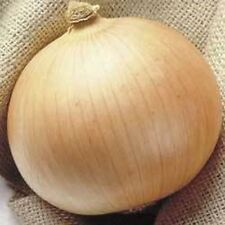 250 SWEET WALLA WALLA ONION Allium Cepa Vegetable Seeds + Gift & Comb S/H
