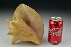 """Large Pink Queen Conch Shell 8"""" Beach Decor #3"""