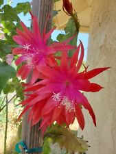 "Epiphyllum orchid cactus rooted cutting ""Kristen Pfeiffer """