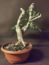 Bonsai tree tanuki needle  juniper photos 9 june