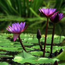 10pcs Lotus Flower Seeds Aquatic Plants Bowl Lotus Beautiful Water Lily Seeds