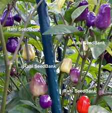 Chinese Five Colour Chilli - Hot Little Chilli Turns a Rainbow of Vibrant Color
