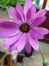 4 X Pink Hardy Osteospermum bare root plants