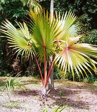 ***10 fresh  SEEDS***LATANIA LONTAROIDES***RED LATAN PALM***free shipping**