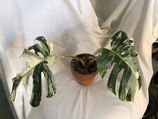 Monstera deliciosa albo variegata 'Borgsiana', established plant