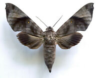 RARE SPHINGIDAE: Acosmeryx anceus M / MOUNTED Ambon Island, Maluku, Indonesia A1