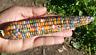Corn Glass Gem Piya - A Rare, Stunning Multicoloured Corn Variety!!!