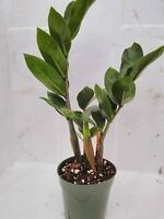 Zamioculcas Zamiifolia ZZ Plant 4'' Pot Glossy Green Leaves Easy to grow