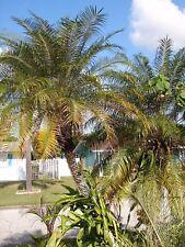 Pygmy Date Palm/ Phoenix roebelenii palm (20) palms 3 gallon pot