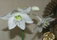 Gorgeous plant White Tropical Lily bulb from mature plant RARE VARIETY