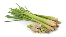 100 Graines de Citronnelle des Indes 'Cymbopogon flexuosus' Lemongrass seeds