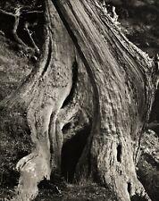 1960s Vintage EDWARD WESTON Tree Trunk Cypress Wood Abstract Photo Art 16X20