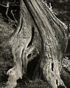 1960s Vintage EDWARD WESTON Tree Trunk Cypress Wood Abstract Photo Art 16X20