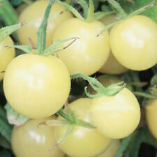 Seeds Cherry Tomato Snow White Vegetable Organic Heirloom Russian Ukraine