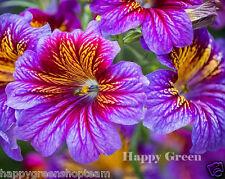 PAINTED TONGUE MIX - 800 SEEDS - Superbissima - Salpiglossis sinuata - Flowers