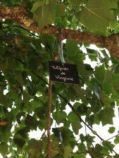 Tulpenbaum Tulipier de Virginie Liriodendron Lilienbaum winterhart traumhaft