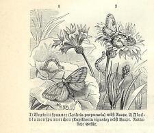 Stampa antica FARFALLE Lythria purpuraria BUTTERFLIES 1891 Old antique print