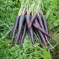 500 stk KAROTTE COSMIC PURPLE Samen Carota Daucus Lila Möhre Gemüse Frucht H5T2