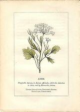 Stampa antica PIANTE DELLA BIBBIA ANICE Pimpinella anisum 1842 Old antique print