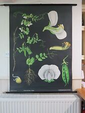 VINTAGE PULL ROLL DOWN SCHOOL WALL CHART OF PEA BOTANICAL JUNG KOCH QUENTELL