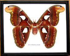 Real Giant Atlas Moth F Butterfly Insect Display Taxidermy in Wood Frame Gift
