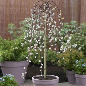 Weeping Willow Salix 'Kilmarnock' Standard Form Tree 70cm Tall 3L Pot