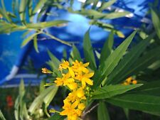 Silky Gold Yellow Milkweed Butterfly host plant 25 seeds