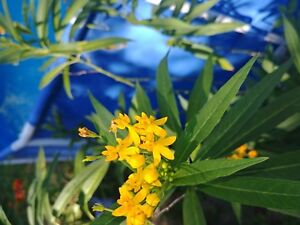 Silky Gold Yellow Milkweed Butterfly host plant 25 + seeds