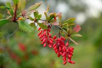 Pflanzen Samen winterhart frosthart Garten Exoten Sämereien Obst BERBERITZE
