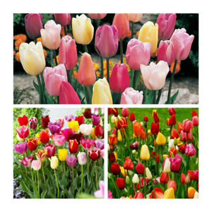 Mixed Triumph Garden Tulips x 50 Flower Bulbs. Beautiful variety of Colour.