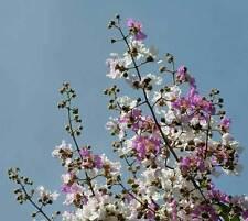 Crepe Myrtle floribunda Tropical Crepe Myrtle 10 seeds