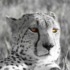 GILLIE AND MARC. Direct from artists. Authentic photography print 'Cheetah'