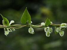 Polygonum dumetorum/Climbing False Buckwheat/Copse Bindweed