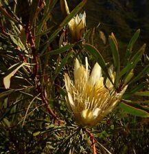 Protea repens white form in 75mm tube (Leucadendron and Protea) cut flower