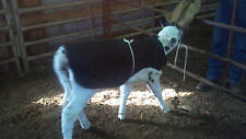 Baby Calf Saver Coat Blanket Size 100- 120 lbs Holsteins