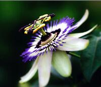 Passion Flower Passiflora Caerulea 10 seeds Tropical Climbing Vine Fruit CombSH