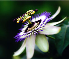 Passion Flower Passiflora Caerulea 10 seeds Tropical Climbing Vine Fruit CombSH