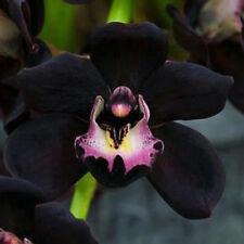 Rare 100 PCS Schwarz Cymbidium faberi Orchid Blumensamen Orchid flower seeds