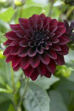 "Rare imported BLACK DAHLIA , "" Black Beauty"" beautiful flower -  10 Seeds"