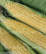 "JUBILEE CORN 35+ seeds Huge 9"" Ears High yield SWEET Hybrid  NON-GMO  85 days"