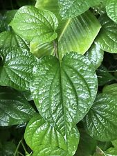 """4 ROOTED 6"""" TO 10"""" TALL BETEL LEAF, PIPER SARMENTOSUM, WILD PEPPER LIVE PLANTS"""