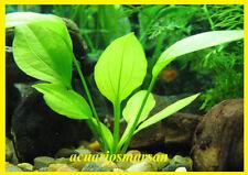 Planta de acuario, gambario, paludario, estanque .Echinodorus Macrophyllus.