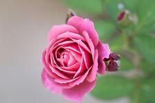 Rosa 'You're Beautiful' Floribunda Rose, Beautiful Scented Pink Flowers