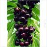 Australia Black Cherry Tree Seeds Rare Fruit Seeds Cherry Seeds Sweet Cherry Hot