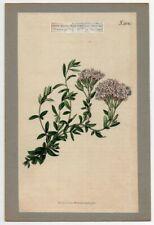 Stevia Eupatoria  Curtis Botanical Flower 1816 Hand Colored Engraving